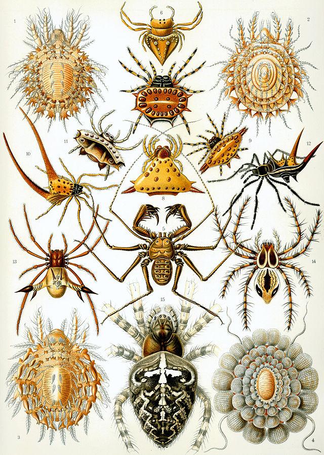 """Arachnida"""" aus Ernst Haeckels """"Kunstformen der Natur"""". Quelle: Wikimedia Commons."""